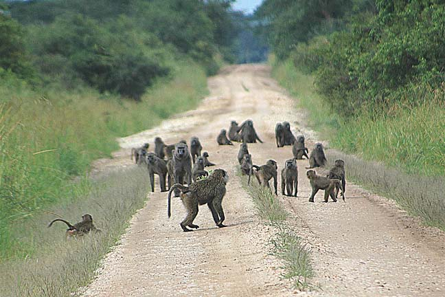the baboons essay We should live like baboons or like men,  documents similar to argument essay skip carousel carousel previous carousel next integrated writing template.